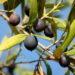 Монах і оливкове дерево